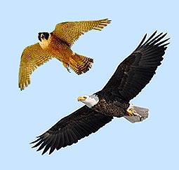 falcao-aguia