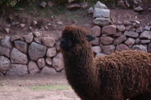 1foto_pablo_ribeiro_alpaca